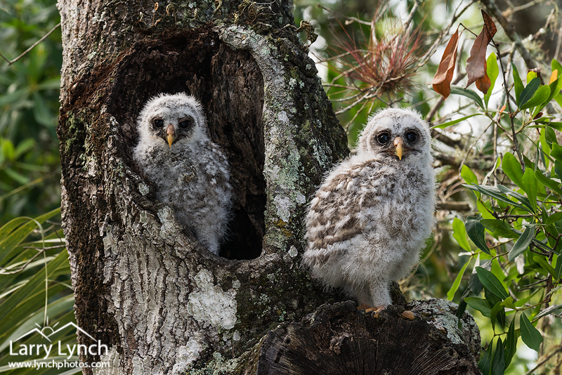 Barred Owl-owlets, branching 8923