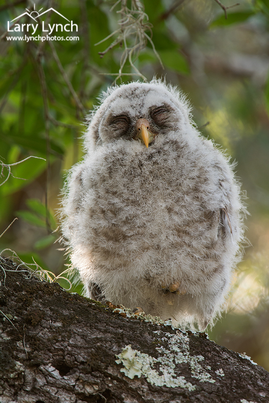 Barred Owl-owlet, napping 9073
