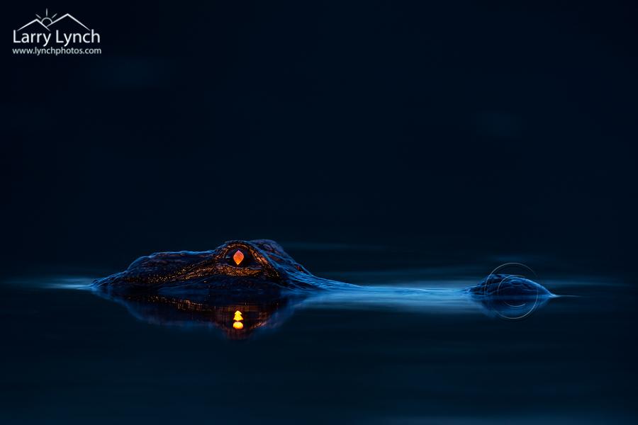 Alligator Eyeshine LML4568