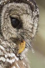 Barred Owl close-up LML0142_5599