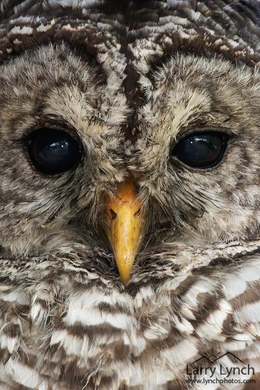 Barred Owl close-up LML0148_5604