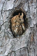Eastern Screech Owl, red morph LML1201-1