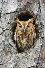 Eastern Screech Owl,red morph LML1229