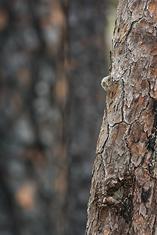Screech Owl-owlet LML1397-1