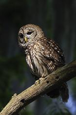 Barred Owl LML1572_2646