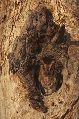 Eastern Screech Owl,red morph LML2317_3296