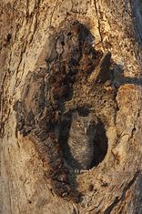 Eastern Screech Owl-owlet LML2896_3656