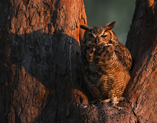 Great Horned Owl at sunset LML3029-7909