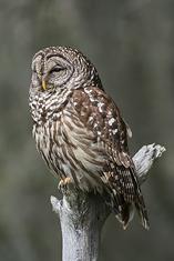 Barred Owl LML3669_8389