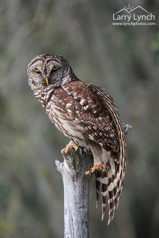 Barred Owl stretching LML3703_8419
