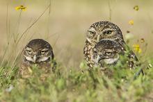 Burrowing Owl family LML4347_6139