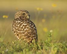 Burrowing Owl LML4390_6181