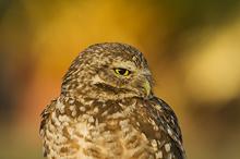 Burrowing Owl portrait LML4398_6188