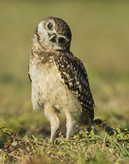 Burrowing Owl, curious look LML5059_6644
