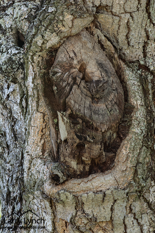 Eastern Screech Owl nest-wide angle view LML5146