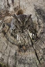 Eastern Screech Owl-gray morph LML5175