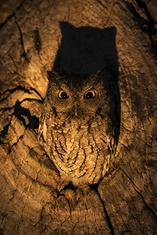 Eastern Screech Owl-gray morph LML5222