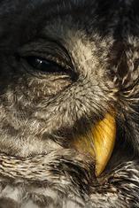 Barred Owl close-up LML5423