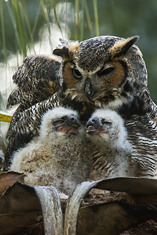 Great Horned Owl, with owlets LML5944