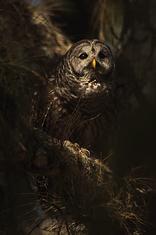 Barred Owl LML7975_9156