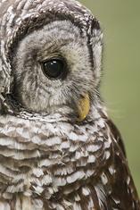 Barred Owl, close-up LML8145_3903