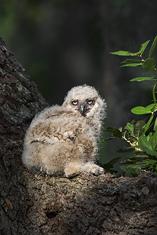 Great Horned Owl-owlet LML9630