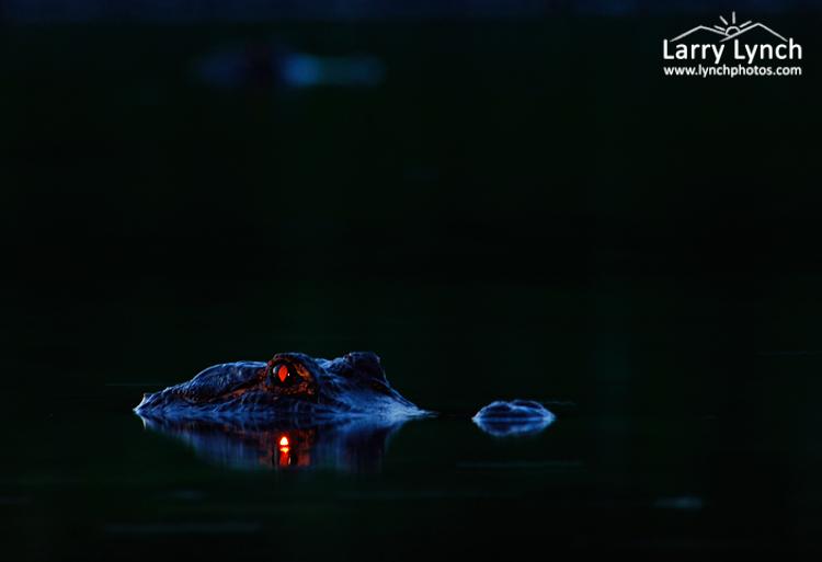 Alligator Eyeshine #1, Myakke River SP, FL