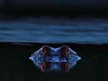Alligator Eyeshine #2, Myakka River SP, FL