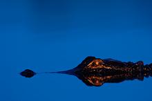 Alligator Eyeshine #3, Myakka River SP, FL