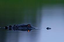 Alligator Eyeshine #4, Myakka River SP, FL