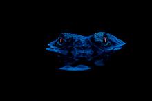 Alligator Eyeshine #8, Myakka River SP, FL