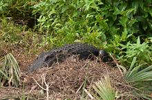 Alligator Guarding Her Nest, Myakka River SP, FL