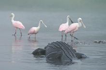 Gator Stalking Spoonbills, Myakka River SP, FL