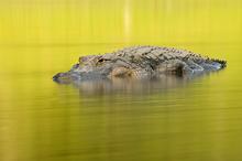 American Alligator #2, Myakka River SP, FL