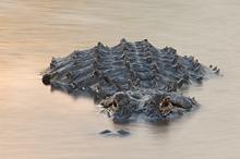 American Alligator #4 Myakka River SP, FL
