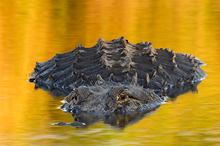 American Alligator #8 Myakka River SP, FL