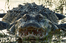 American Alligator #12 Myakka River SP, FL