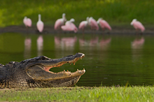 American Alligator #14 Myakka River SP