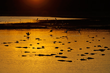 Alligators Gathered at Sunset, Myakka River SP, FL