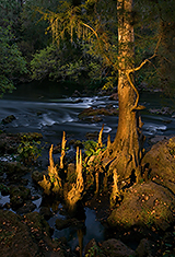 Bald Cypress Tree (Light Painting) D2X5398