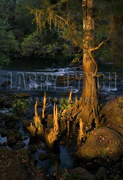 Bald Cypress Tree (Light Painting) D2X5398