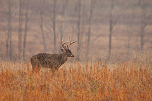 Whitetail Buck, Rain, Meadow, Cades Cove, TN