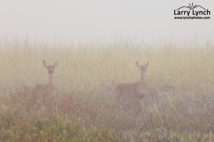 Whitetail Doe in Thick Fog, Myakka River,  FL