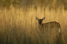 Doe in Tall Grass, Evening Light