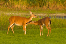 Young Buck Checking Out a Doe, Myakka River, FL