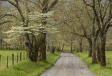 Dogwood Trees On Sparks Lane