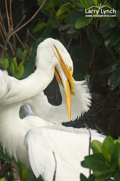 Great Egret Feeding Chick, Tampa Bay, Florida