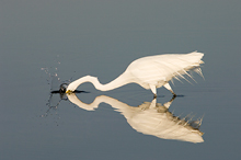Great Egret Feeding, Ft Desoto Park, Florida