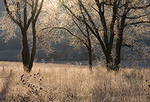 Frosted Trees, Cades Cove