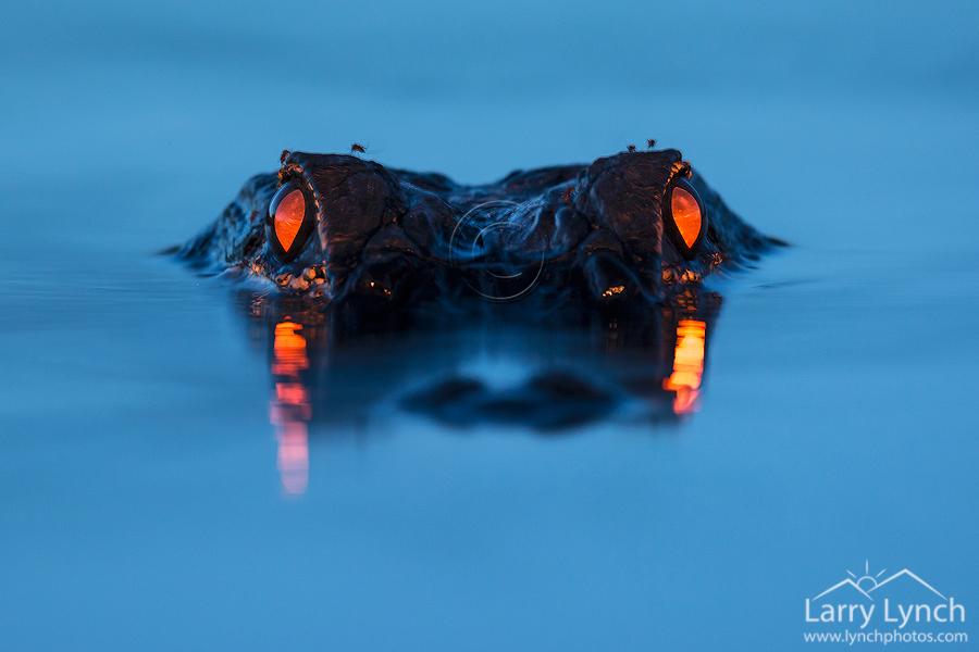 Alligator Eyeshine_LML5127